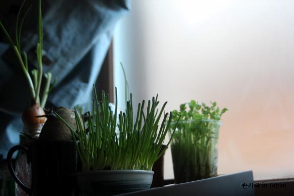 겨울, 집에서 물로 키우는 채소들
