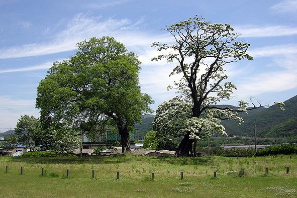 사월초파일에 만난 이팝나무