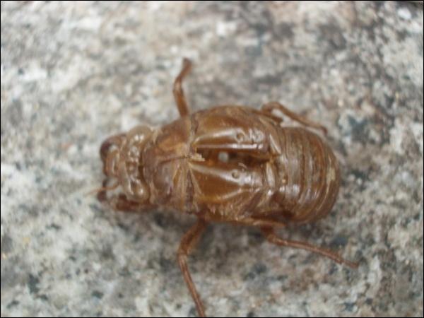 매미 유충 탈피한 껍데기