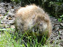 25. 사향땃쥐 (카고시마)