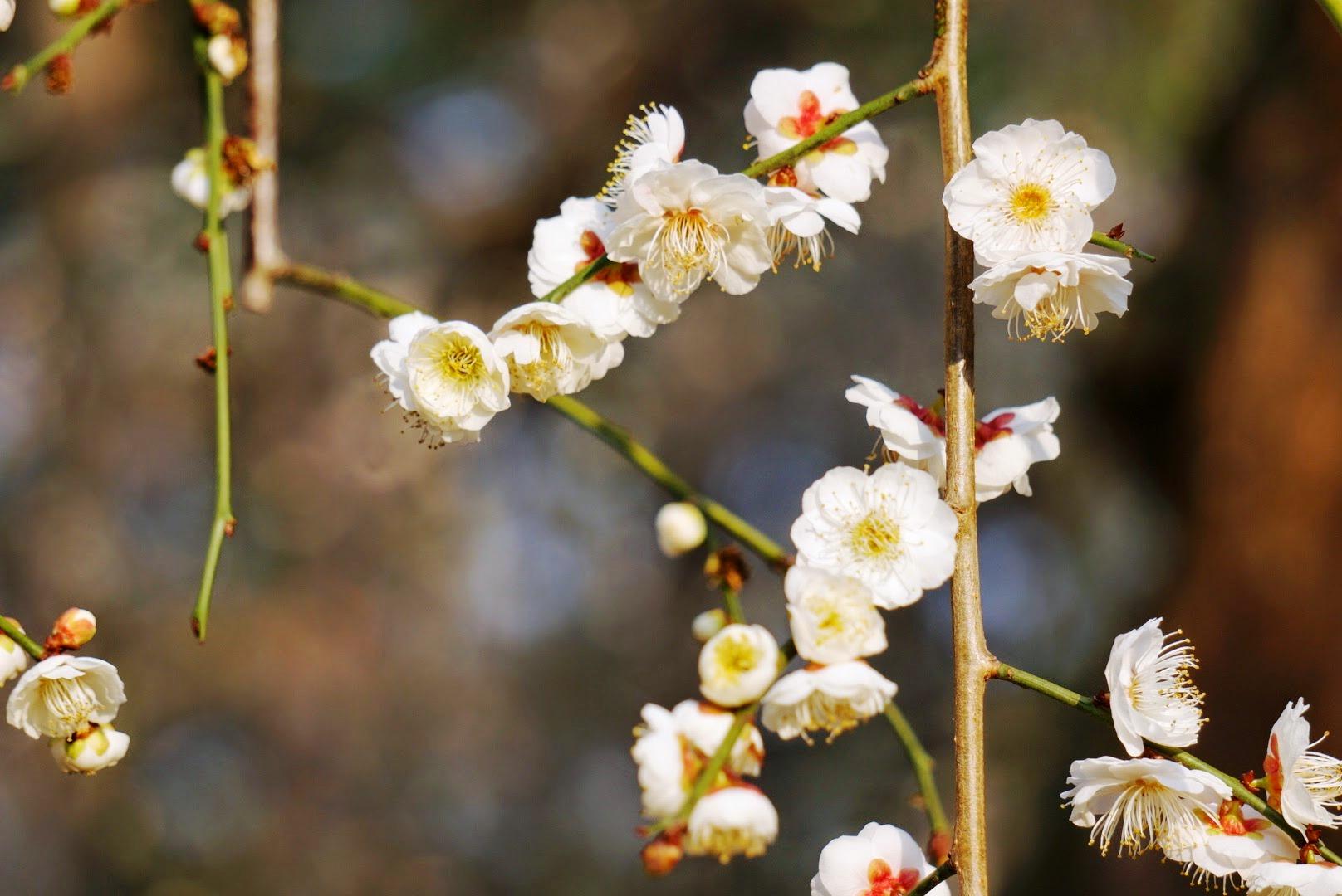 봄의 제주 - 한림공원, 매화 축제