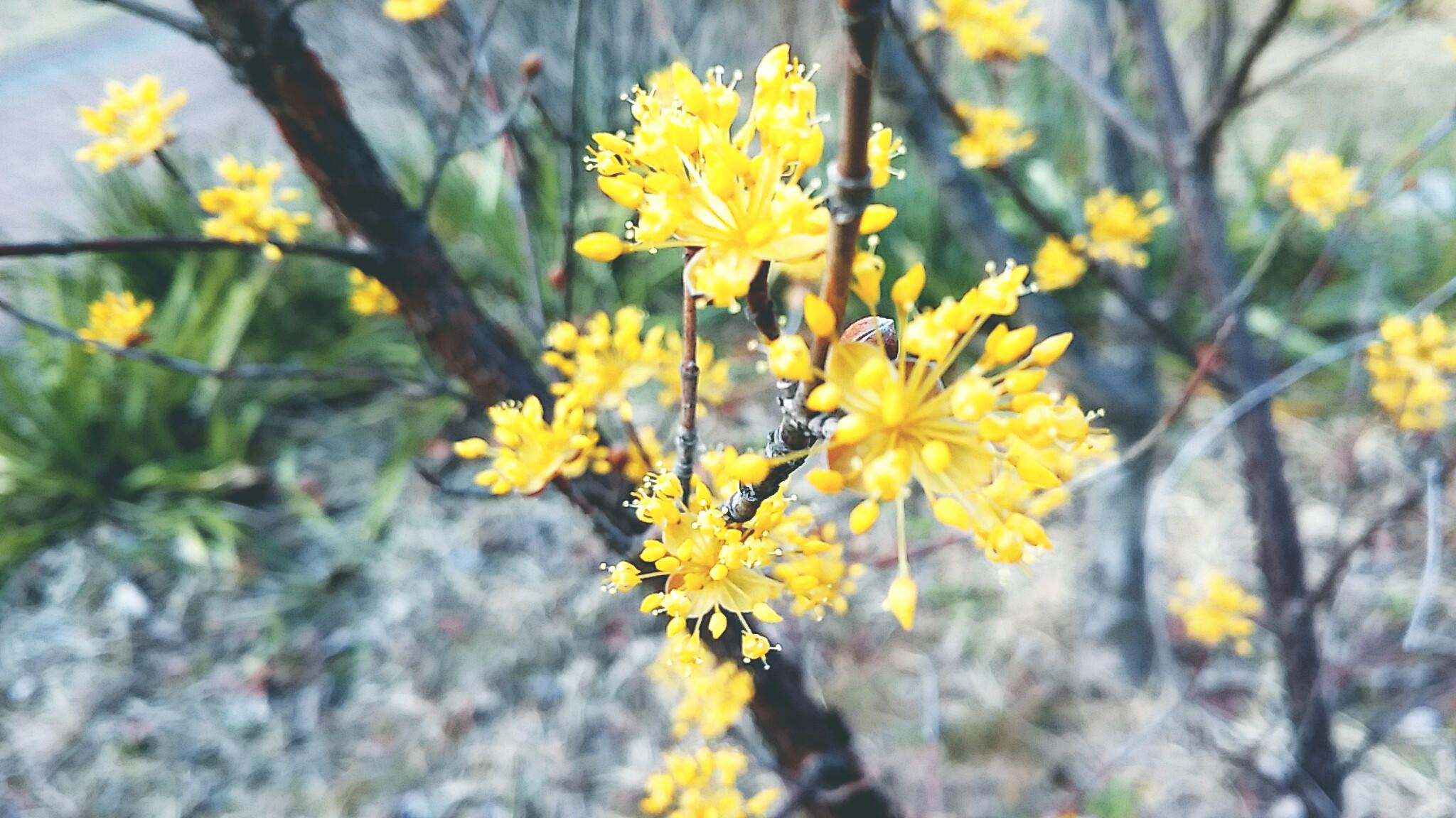 별인가 꽃인가 산수유꽃