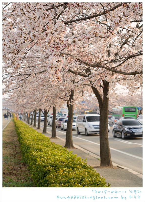 [강릉] 경포대 벚꽃 나들이