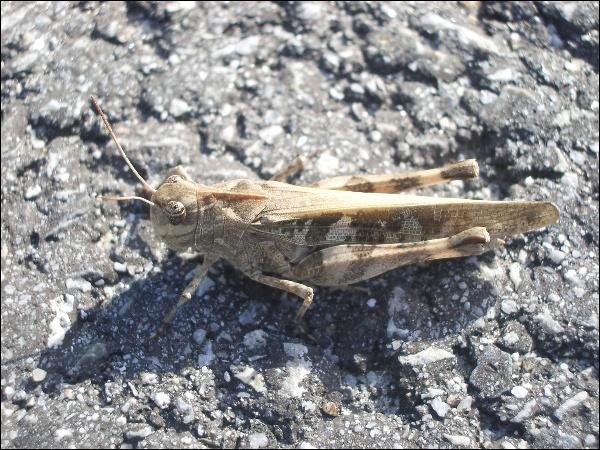 두꺼비메뚜기(사마귀메뚜기)