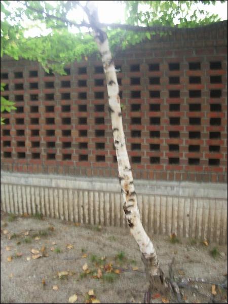 자작나무 열매 심기, 호두나무 및 그 외 열매 심기