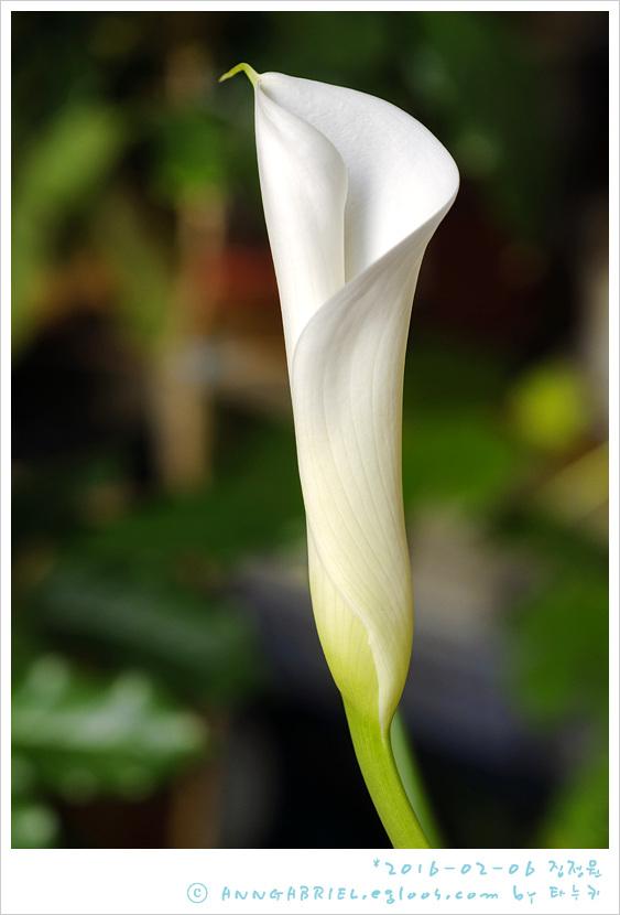[집정원] 만개한 카라꽃