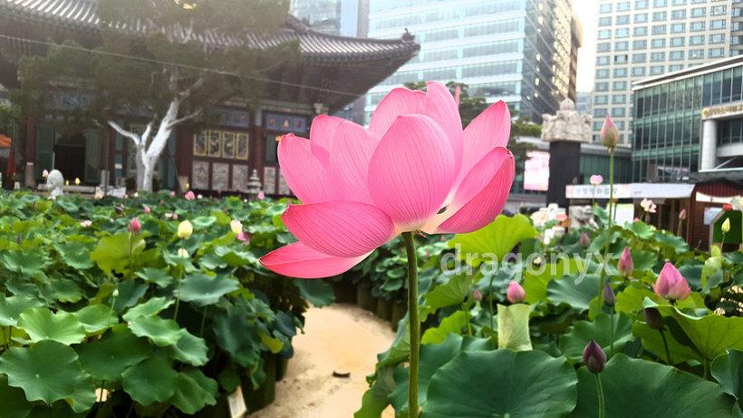 도심 속 아름답게 핀 연꽃