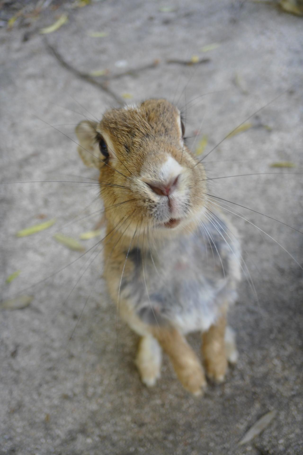 [일본/토끼섬] 오쿠노시마 섬 일주 - 토끼떼 감상 ..