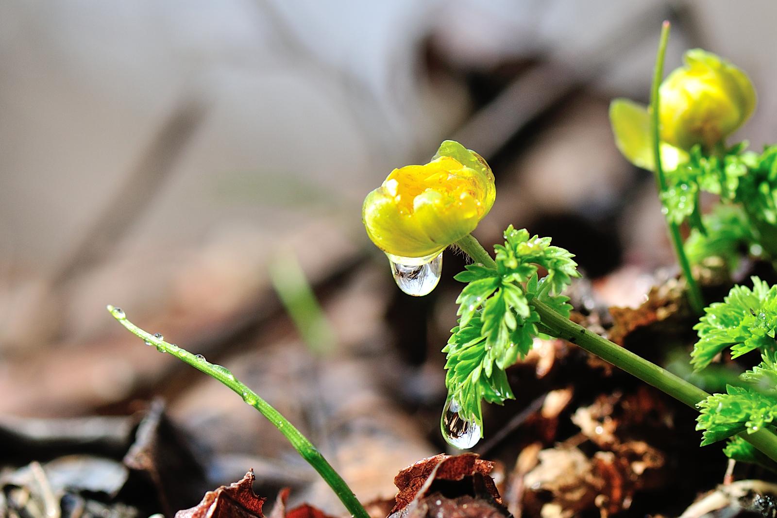 광덕산 봄소식