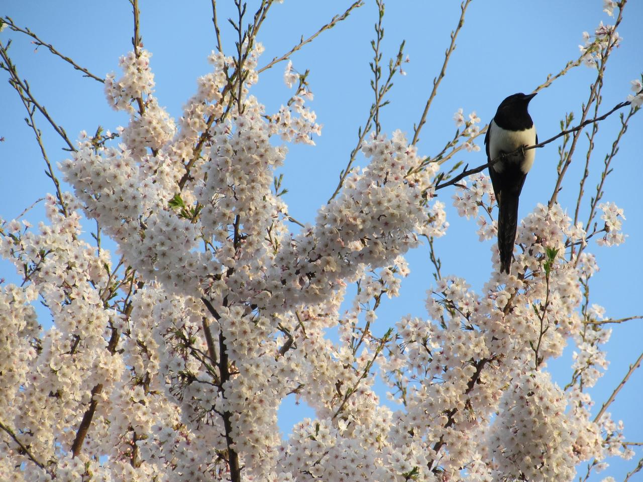 양재천 벚꽃구경