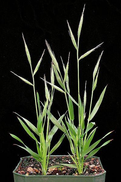 """단자엽식물의 모델식물 """"Brachypodium distachy.."""
