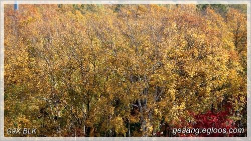 사할린, 이 가을의 자작나무 숲을 겪고 왔다