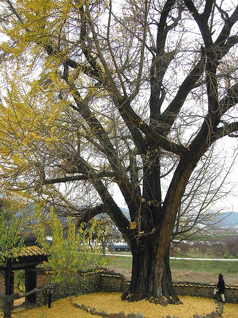 밀양 금시당 은행나무