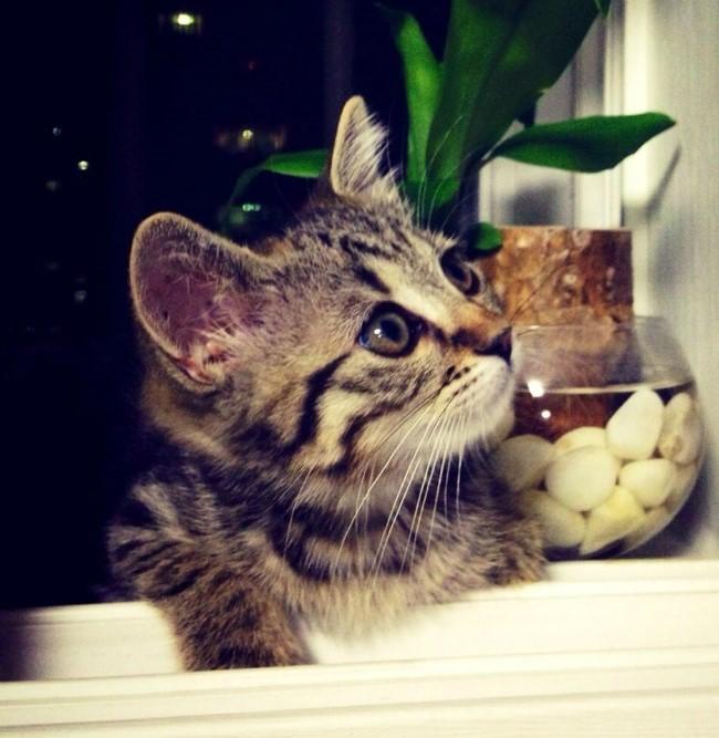 [낭만고양이] 첫째 브리티쉬숏헤어 고양이 로니