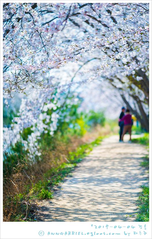 [강릉] 벚꽃 만개한 경포대 호수공원 - 2