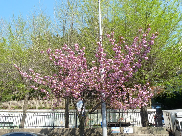 왕벚꽃 활짝핀 4월 중순의 날씨 화창한 주말